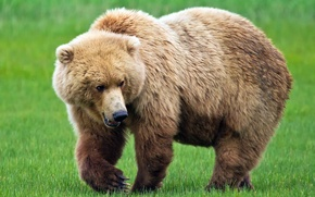 Picture large, bear, brown bear, Bruin, the symbol of Russia
