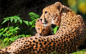 Picture stay, Cheetah, kitty, mom, mother, chetach