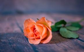 Wallpaper flower, background, rose