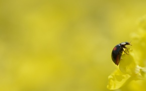 Picture flower, yellow, background, ladybug, insect