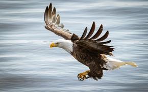 Picture flight, bird, eagle, wings, beak