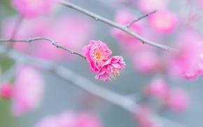Wallpaper macro, flowers, sprig, pink, tenderness, branch, spring, flowering