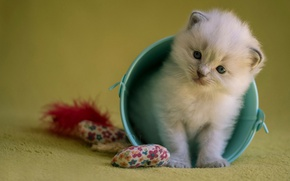Picture cat, kitty, background, toys, fluffy, small, bucket, blue-eyed, ragdoll, sweetie
