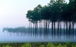 Picture trees, landscape, fog, dawn, Pine