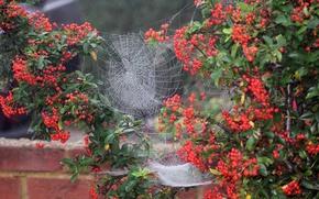 Picture macro, berries, Bush, web, yard