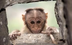 Wallpaper look, monkey, background
