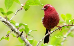 Picture Bird, brach, red, spring, beautifull, leaves, tree