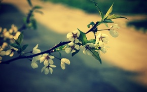 Picture flowers, spring, Sakura