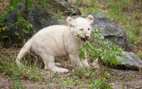Picture cat, the game, branch, cub, lion, white lion