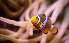 Picture macro, algae, fish, underwater world, fish-clown