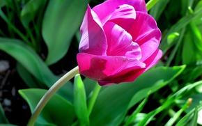 Picture Tulip, spring, spring, Tulip, dark pink, dark pink