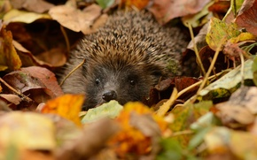 Picture leaves, eyes, barb, muzzle, hedgehog