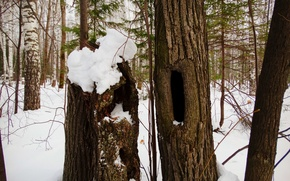 Picture forest, tree, the hollow, the hole in the tree