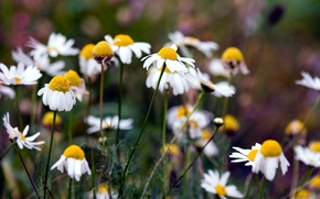 Picture summer, nature, chamomile