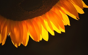 Picture background, dark, sunflower, petals, orange