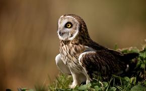 Picture owl, bird, animal
