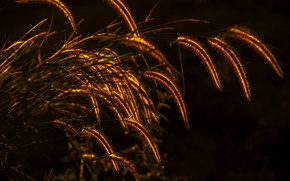 Picture grass, plant, lighting, spikelets