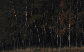 Picture autumn, forest, dawn, pine