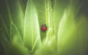 Picture leaves, nature, ladybug
