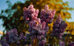 Picture the sky, butterfly, Lilac, bokeh