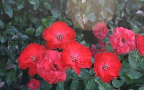 Picture Bokeh, Bokeh, Red roses, Red roses