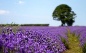 Wallpaper field, nature, tree, lavender, razmytost