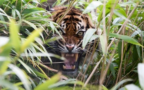 Picture grass, tiger, predator, rage, mouth, fangs