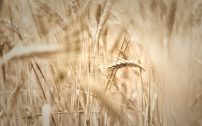 Picture wheat, field, macro, widescreen, Wallpaper, rye, blur, spikelets, wallpaper, ears, widescreen, background, spike, full screen, ...