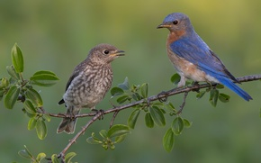 Picture leaves, birds, tree, branch, chick, blue birds
