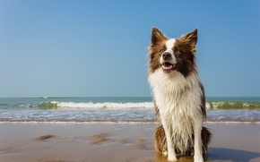Picture sea, wave, beach, wet, dog, horizon, white collar