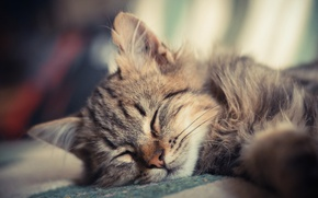 Picture fluffy, small, sleeping, kitty, Kote