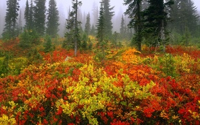 Picture forest, trees, fog, bushes, color, spruce