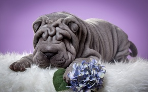 Picture flower, Sharpay, puppy, folds, hydrangea