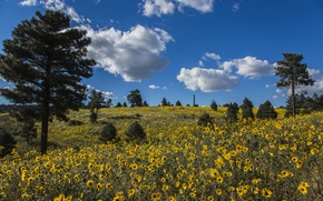 Picture clouds, trees, flowers, meadow, AZ, pine, Arizona, Coconino National Forest