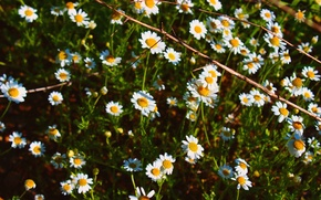 Picture grass, flowers, Chamomile, summer.