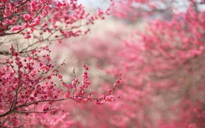 Picture flowers, cherry, tree, spring, buds