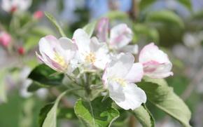 Picture flower, macro, Apple