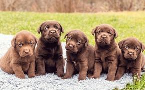 Picture puppies, Labrador, five