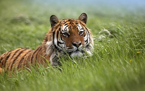 Picture field, grass, the steppe, field, predators, ambush, trap, wild cats, waiting, tigers, tigress, wildlife, traps, ...