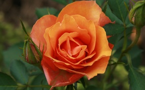Picture flower, flowers, nature, rose, plant, garden