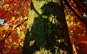 Picture autumn, leaves, tree, shadow, trunk, bark, maple