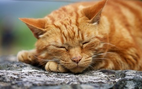 Picture cat, macro, red, sleeping, face