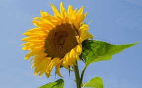 Picture the sky, leaves, sunflower, petals