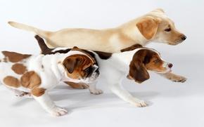 Wallpaper dogs, interest, red, trio, go