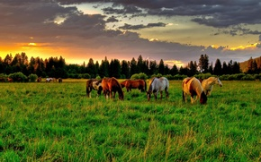 Wallpaper field, summer, the sky, clouds, trees, sunset, sunrise, tree, glade, horse, horses, Nature, spruce, horse, ...