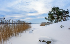 Picture winter, snow, reed