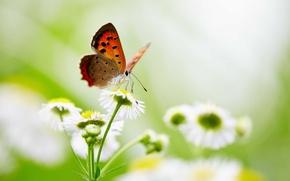 Picture butterfly, flowers, wings, bokeh