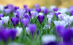 Wallpaper flowers, spring, crocuses
