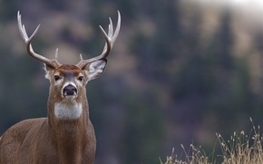 Picture nature, animal, deer, horns