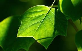 Wallpaper greens, sheet, plants